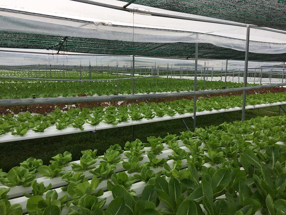 Mỗi mét vuông sản xuất theo phương pháp thủy canh sẽ cho thu nhập cao gấp 2-3 lần so với phương pháp sản xuất rau truyền thống.