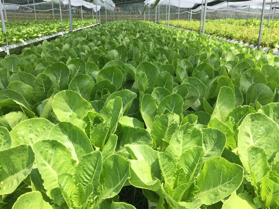 Hiện thị trường rất yêu chuộng sản phẩm sạch, an toàn nên trồng đến đâu bán hết đến đó.