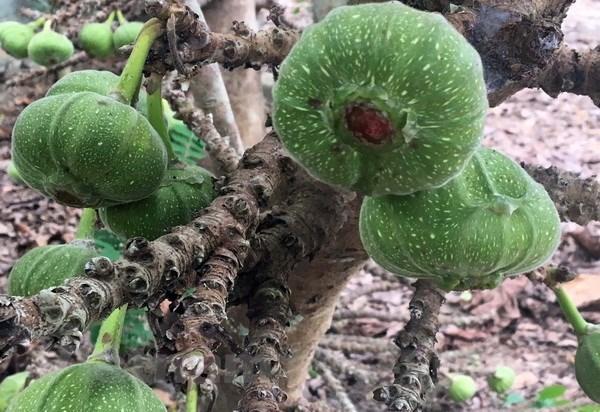 Vả trồng nhiều trong các nhà ở miệt vườn Kim Long. (Ảnh: Quốc Việt/Vietnam+)