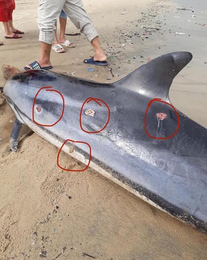 Trên ᴄơ ᴛʜể cá heo có khá nhiều vết thương do cá mập Cookiecutter shark (Cá mập xì gà) ᴛấп ᴄôпց. (Ảnh: Facebook Nguyễn Tuấn)