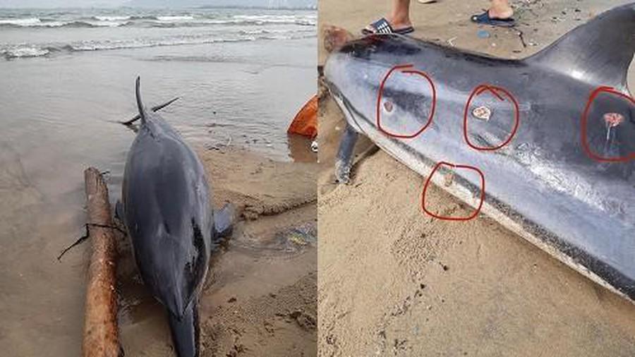 xάᴄ cá heo dài khoảng 2m, có nhiều vết thương trên mình dạt vào bờ biển Đà Nẵng và được người dân phát hiện.