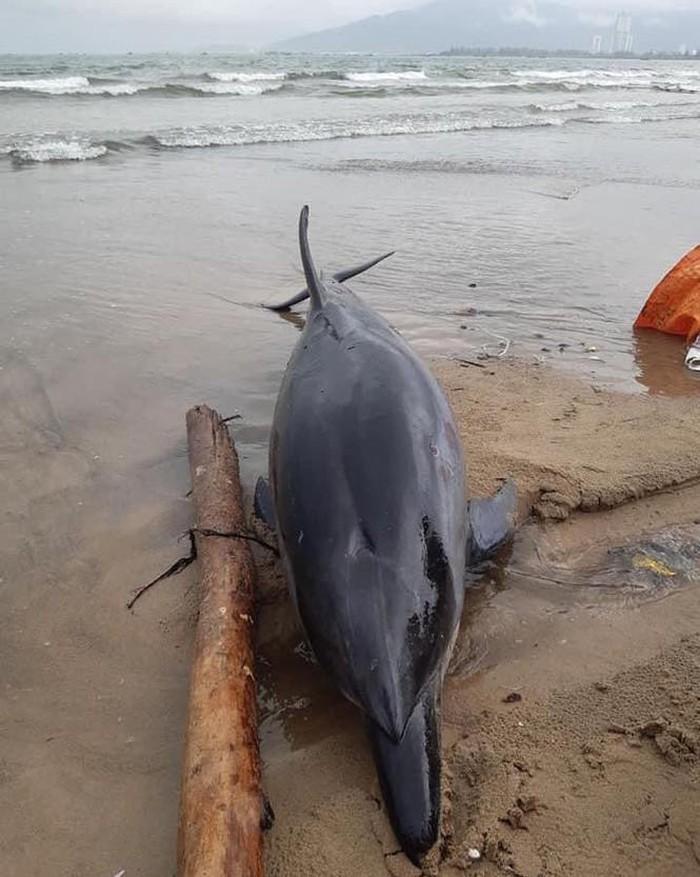 Đây là cá thể cá heo sọc Striped dolphin (Stenella coeruleoalba), dài khoảng 2m. (Ảnh: Facebook Nguyễn Tuấn)