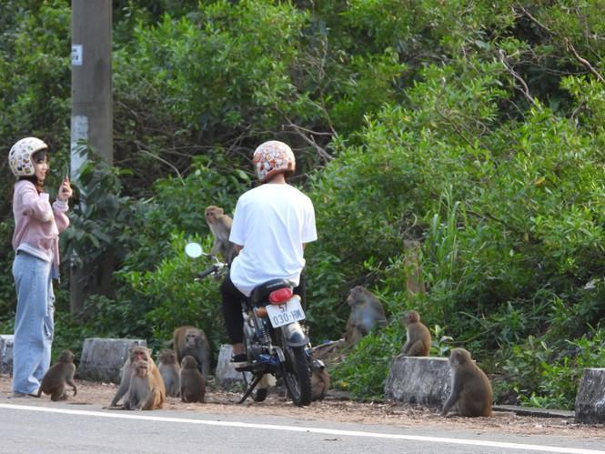 Bầy khỉ đã không sợ sệt, giữ khoảng cách với con người. Ảnh: VT.