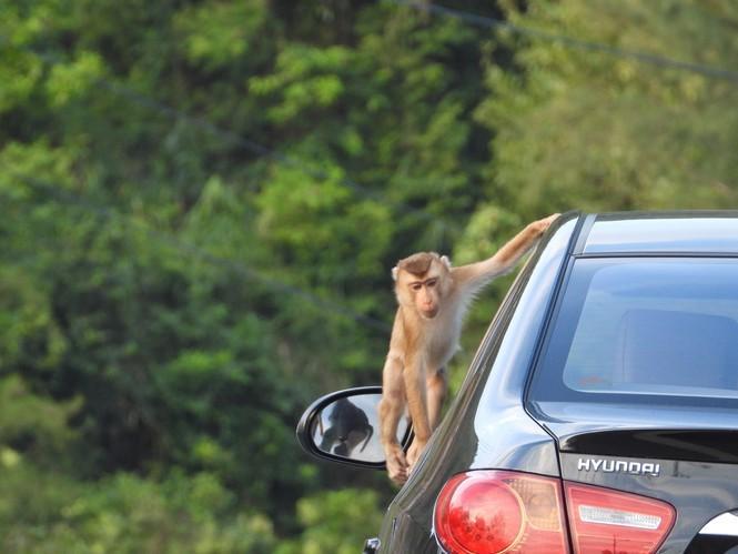 Leo lên ô tô tìm thức ăn. Ảnh: VT.