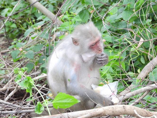 Chú khỉ được người dân cho bánh ngồi ăn ngay bên đường. Ảnh: VT.