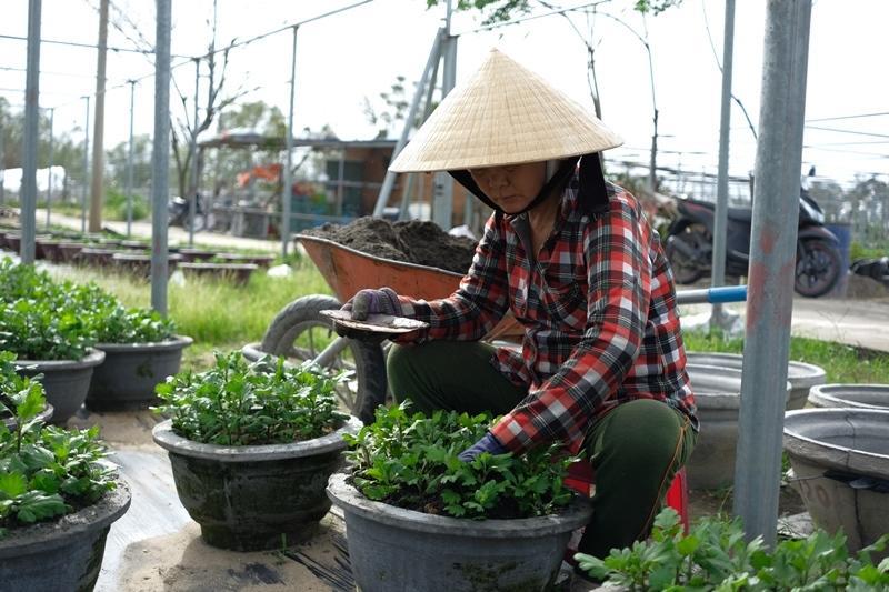 Người dân hoa Dương Sơn (xã Hòa Châu, huyện Hòa Vang) chuẩn bị cho vụ hoa Tết.