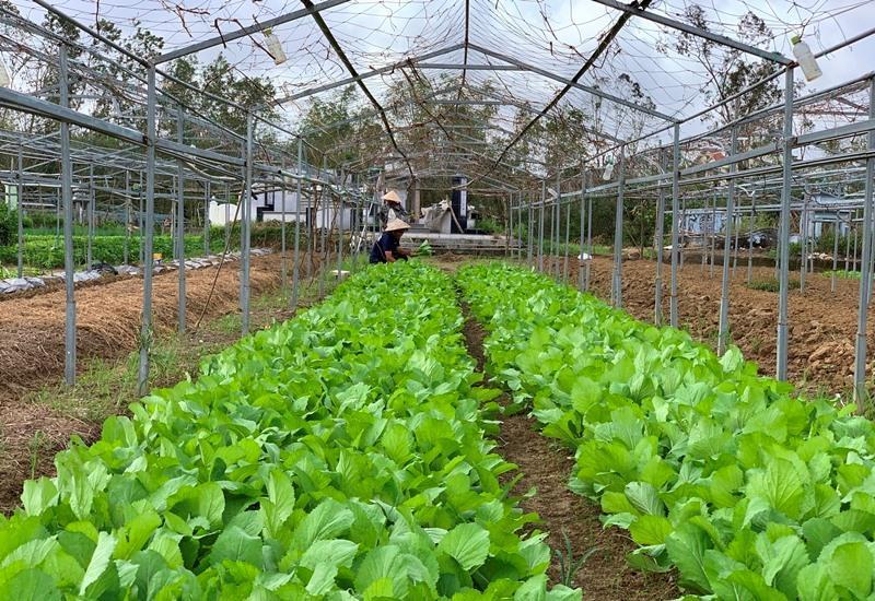 Một số hộ tại HTX rau an toàn Túy Loan đã có rau thu hoạch.