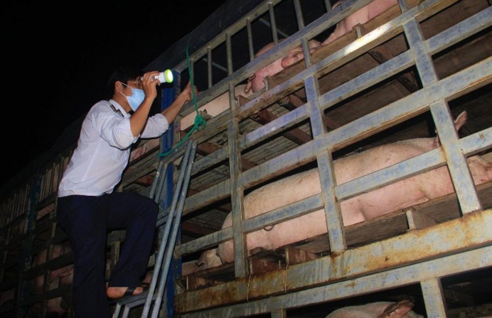 Quảng Trị siết chặt việc kiểm soát vận chuyển lợn qua biên giới