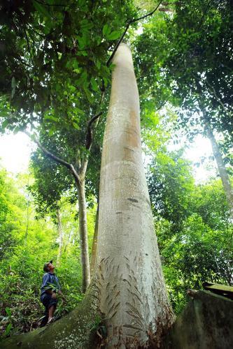Đường kính thân cây gần 2m