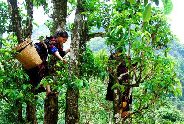 Trải nghiệm việc hái và sản xuất chè cây cao cổ thụ cũng là điểm hấp dẫn du khách.