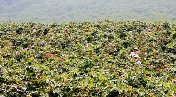 Các chủ vườn cà phê ở Mường Ảng đang tập trung thu hoạch mùa vụ.