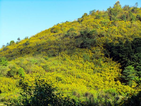 Những triền đồi vàng rực sắc hoa dã quỳ.