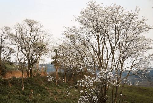 Hoa Ban loài hoa đặc trưng của mảnh đất Điện Biên lịch sử.