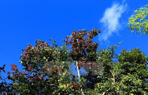 Cây phong lá đỏ nằm trong khu rừng trên đường lên cột mốc số 0. Ảnh: Phan Tuấn Anh/TTXVN