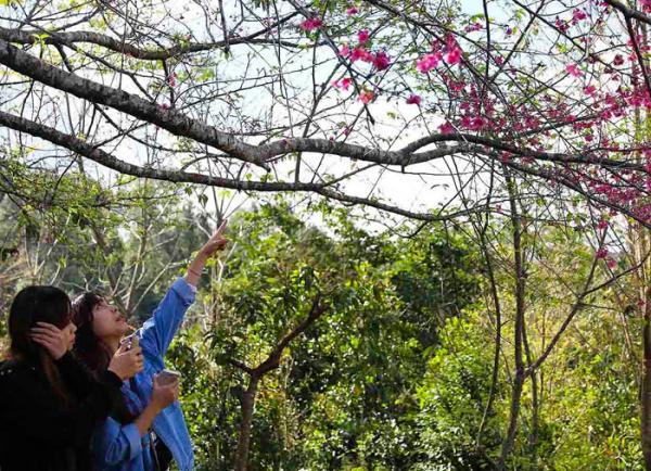 Du khách thưởng ngoạn hoa anh đào trên đảo hoa Pá Khoang. Ảnh: Xuân Tư