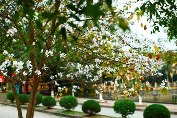 Hàng cây hoa Ban khoe sắc bên venhồ Tỉnh ủy.