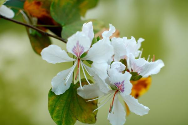 Trên nền lá, hoa Ban nổi bật lên với vẻ đẹp trắng trong, tinh khiết.