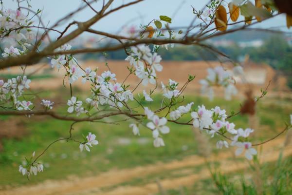 Những cành Ban khẳng khiu nhưng đầy ắp hoa đã tạo nên vẻ đẹp mong manh mà đầy sức sống.