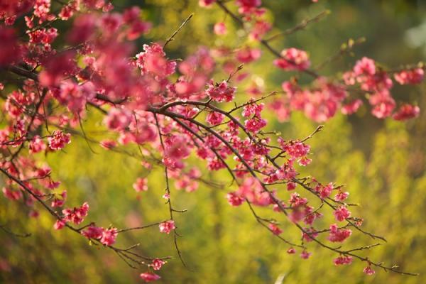 Vẻ đẹp của hoa Anh đàođánh dấu cho tình hữu nghị sâu sắc giữa 2 dân tộc Việt Nam - Nhật Bản.