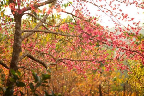 Khí hậu, thổ nhưỡng của Mường Phăngphù hợp với sự sinh trưởng của giống hoa hoa anh đàoEdohigan Sakura của đảo Kyushu.