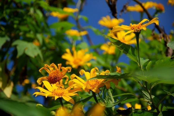 Trên nền lá xanh, sắc vàng rựcrỡcủa hoaDã quỳ đã trở thành điểm nhấn.