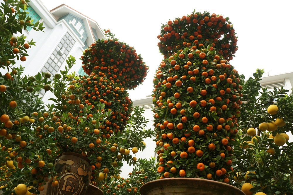 Cặp quýt là cây cảnh giá trí nhất của nhà vườn ông Thắng đưa ra phố bán trong dịp tết năm nay.