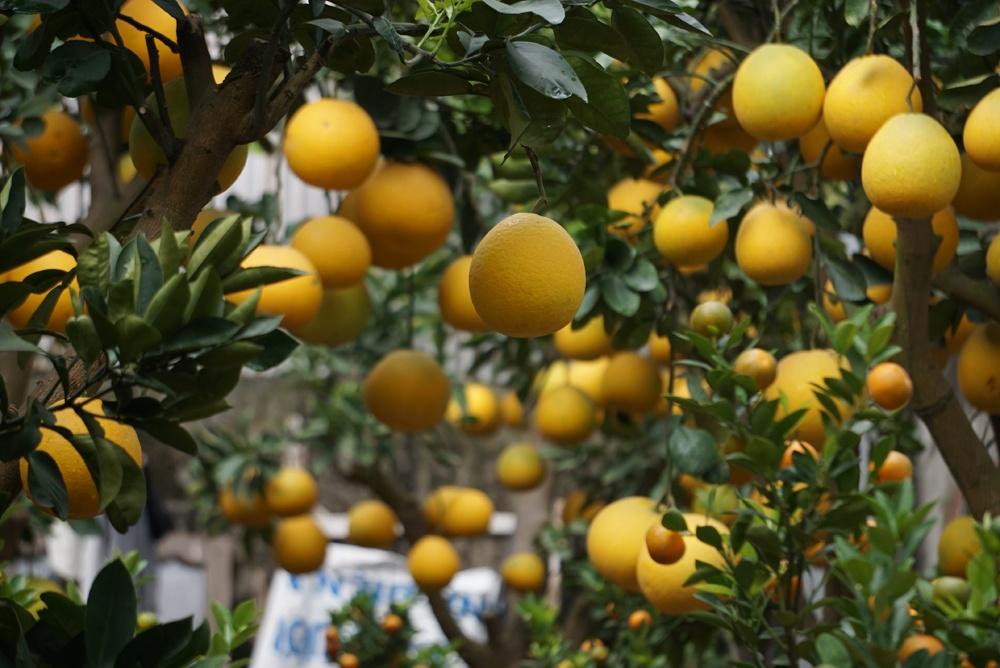Xuống phố từ khá sớm, ông Thắng cũng mang theo nhiều loại cây cảnh khác như bưởi cảnh.