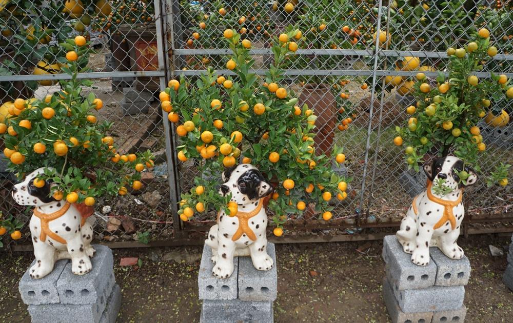 Quất bonsai dáng chó đốm cũng được ông Thắng chuẩn bị cho năm Mậu Tuất.