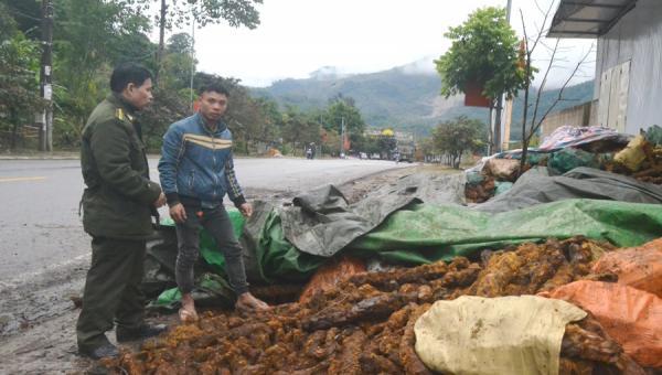 Người dân một số xã trên địa bàn huyện Mường Chà đã đổ xô vào rừng tìm kiếm, khai thác cây cu li để bán nhằm kiếm thêm thu nhập. ảnh - Lực lượng kiểm lâm huyện Mường Chà tuyên truyền, nhắc nhở các cơ sở thu mua, sơ chế cu li nghiêm túc chấp hành các quy định của pháp luật.
