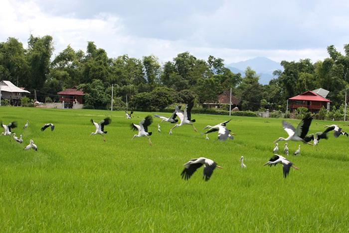 """""""Ðất lành chim đậu""""- một hình ảnh hấp dẫn khách du lịch trên cánh đồng Mường Thanh."""