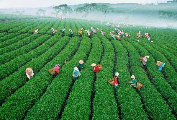 Mộc Châu nổi tiếng với những nông trường chè bạt ngàn, xanh mướt một màu