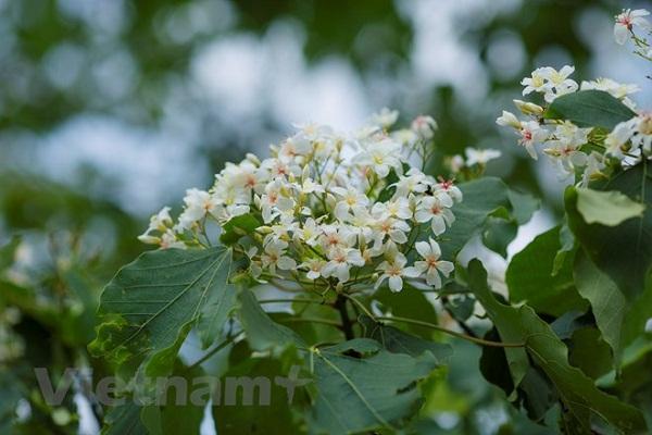 Trên những cung đường miền núi phía Bắc, đầu mùa Hè lại có một loài hoa làm nức lòng người bởi vẻ đẹp và hương thơm mê đắm nhưng lại mang cái tên mộc mạc: Hoa trẩu. (Ảnh: Minh Sơn/Vietnam+)