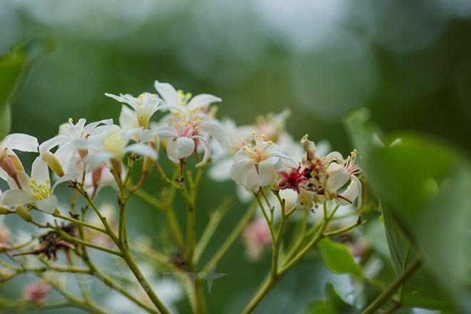 Một chùm hoa trẩu có hàng trăm bông hoa nhỏ được những chiếc lá ôm ấp lấy. Dưới làn gió mát, những tán lá, tán hoa rung rinh, rơi rụng nhè nhẹ mang theo mùi hương thoang thoảng. (Ảnh: Minh Sơn/Vietnam+)