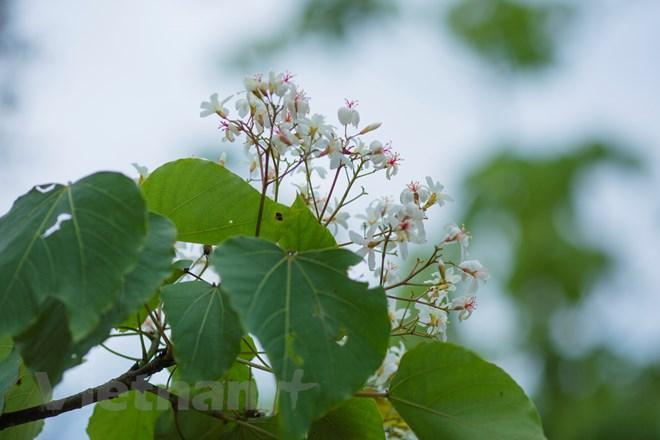 Ai đã đi qua một mùa hoa trẩu sẽ không khỏi xao xuyến bởi những cảm xúc bình dị. (Ảnh: Minh Sơn/Vietnam+)