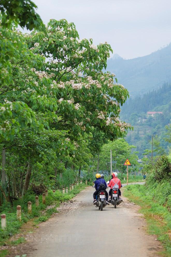 Dừng chân bên những gốc trẩu bên đường, mùi hoa thơm mát khiến lòng nhẹ bẫng, dịu đi mệt mỏi trên những cung đường quanh co. (Ảnh: Minh Sơn/Vietnam+)