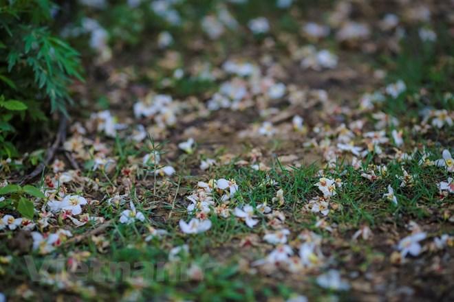 Hoa rơi nhiều tạo thành một thảm trắng li ti trên mặt đất. Ngay cả khi rơi xuống, hoa vẫn tươi nguyên nét rạng rỡ ban đầu. (Ảnh: Minh Sơn/Vietnam+)