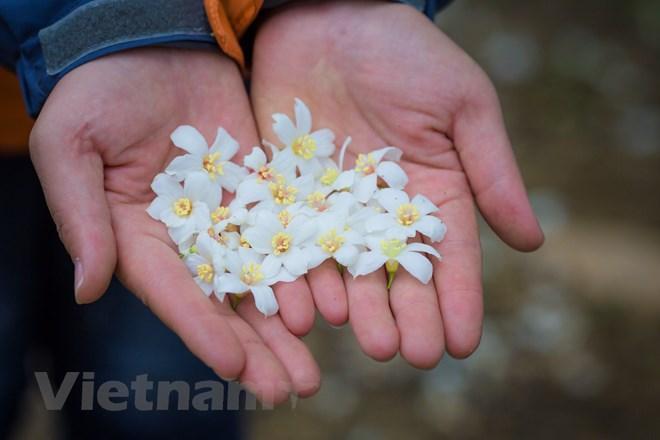 Dù có đi xa đến đâu, cứ dịp tháng 4 lại nhớ về những bông hoa trẩu bỗng thấy yêu hơn trời đất và cuộc sống ở mảnh đất Tây Bắc này. (Ảnh: Minh Sơn/Vietnam+)