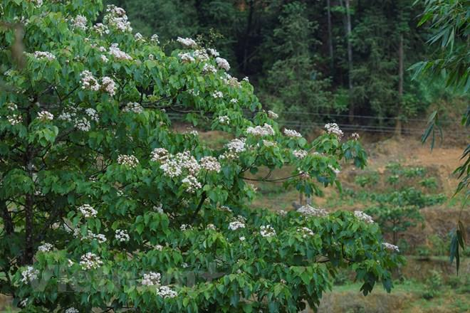 Hoa trẩu bông trắng như tuyết, đậu trên những vòm lá xanh non tô điểm thêm cho vẻ đẹp của núi rừng Tây Bắc. (Ảnh: Minh Sơn/Vietnam+)
