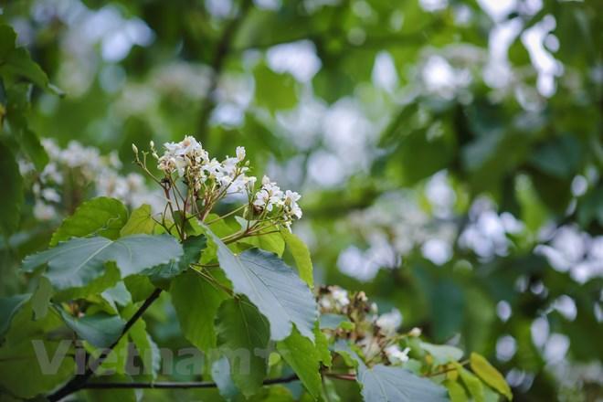 Hoa nở bung nhưng không kiêu sa mà lại e ấp, mộc mạc như tấm lòng của những con người vùng Tây Bắc. (Ảnh: Minh Sơn/Vietnam+)