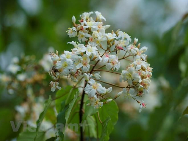 Hoa trẩu be bé, trắng xinh với nhị vàng và cuống nhị đỏ hồng giữa những cánh hoa trắng muốt, tinh khôi. (Ảnh: Minh Sơn/Vietnam+)