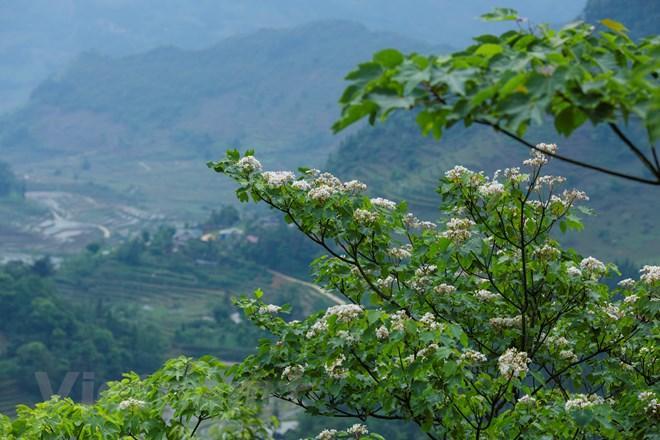 Cây trẩu vươn cao, bung những chùm hoa rạng rỡ, làm sáng bừng cả một vùng. (Ảnh: Minh Sơn/Vietnam+)