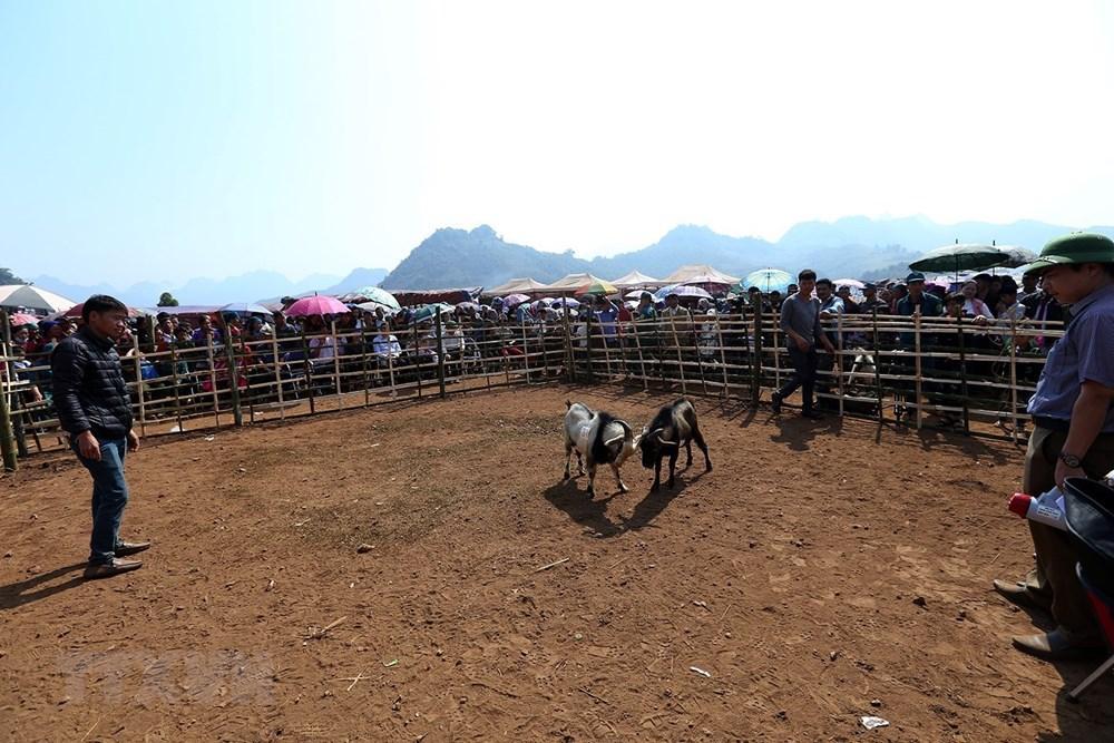 Chọi dê là một trong những hoạt động đặc sắc của hội xuân ở các xã Xá Nhè và Sính Phình, huyện Tủa Chùa (tỉnh Điện Biên) trong dịp đầu Xuân mới. (Ảnh: Phan Tuấn Anh/TTXVN)
