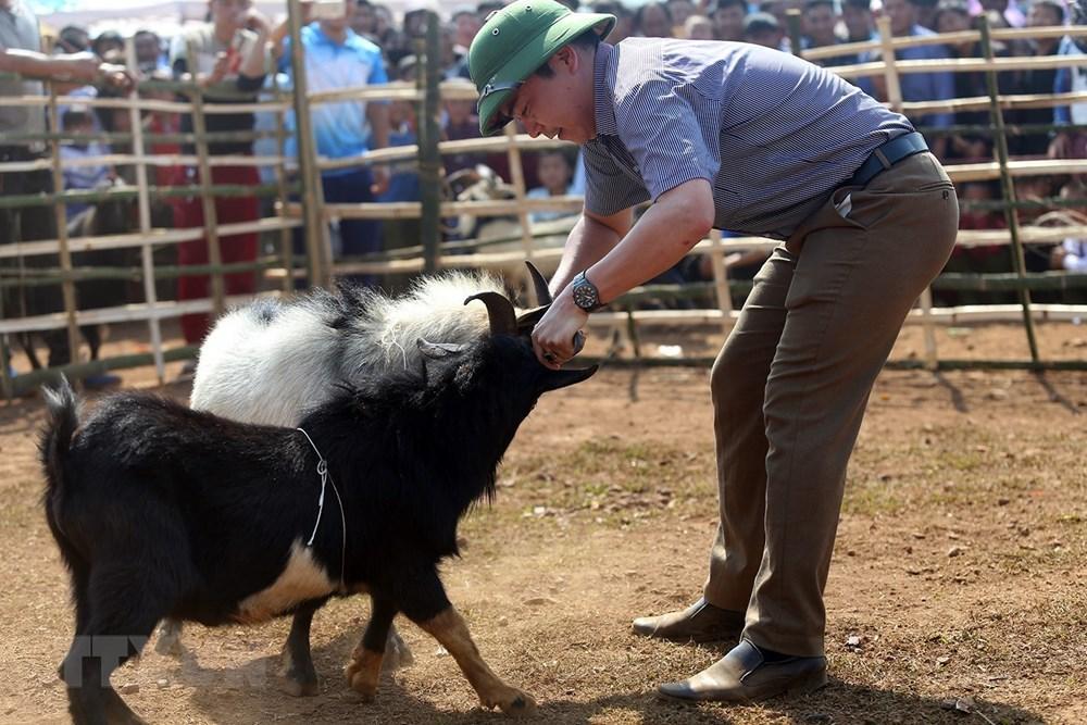 Để kích thích các đấu sỹ dê thi đấu, trọng tài cầm sừng của các đối thủ cọ vào nhau. (Ảnh: Phan Tuấn Anh/TTXVN)