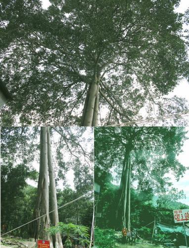 Bên cây đa 3 gốc cổ thụ.