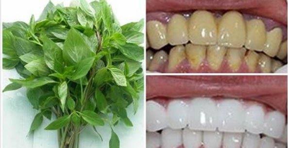 Lá húng quế chứa các tinh chất thiên nhiên giúp làm trắng răng, cải thiện tốt các vấn đề liên quan như viêm nướu, chảy máu chân răng, sưng lợi, hôi miệng