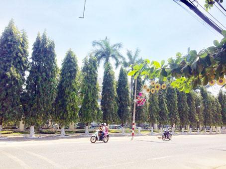 Dàn cây hoàng nam trước trụ sở Tỉnh ủy cũng sẽ nằm trong phương án di dời. Ảnh: P.LIỄU