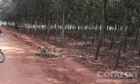 Khu vực rừng cao su nơi xảy ra vụ việc