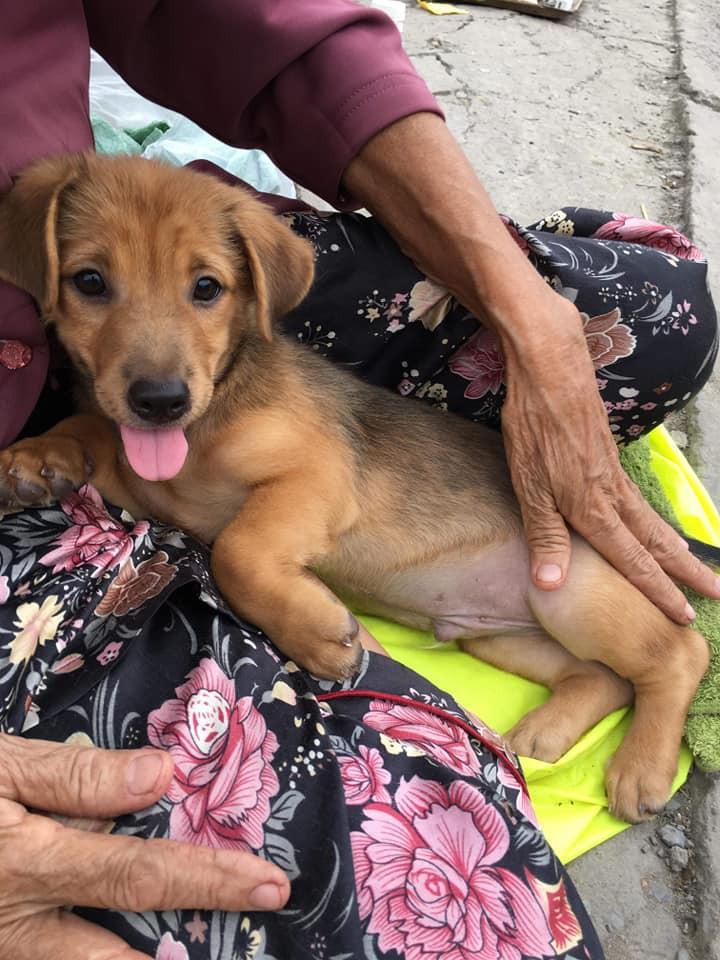 Chú chó nhỏ nằm gọn trong lòng cụ bà