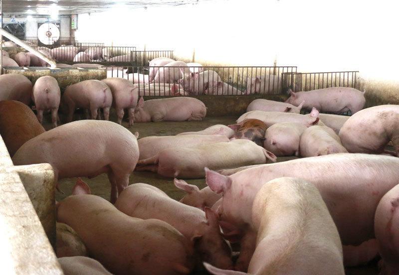 Từ 1/4, giá thịt lợn hơi xuất chuồng đồng loạt giảm mạnh