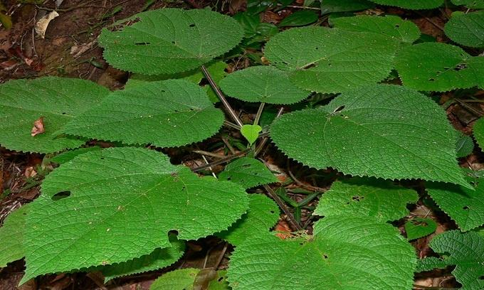 Cây Dendrocnide moroides, hoặc Gympie Gympie, là loài thực vật sống ở Australia. Toàn bộ thân cây và lá được bao phủ bởi một lớp lông nhỏ, chứa chất độc, có khả năng đâm vào da người nếu vô tình chạm phải. Nếu những chiếc lông này không được loại bỏ sớm khỏi da, chúng sẽ gây đau đớn dữ dội trong nhiều tháng. Ảnh: Flickr.